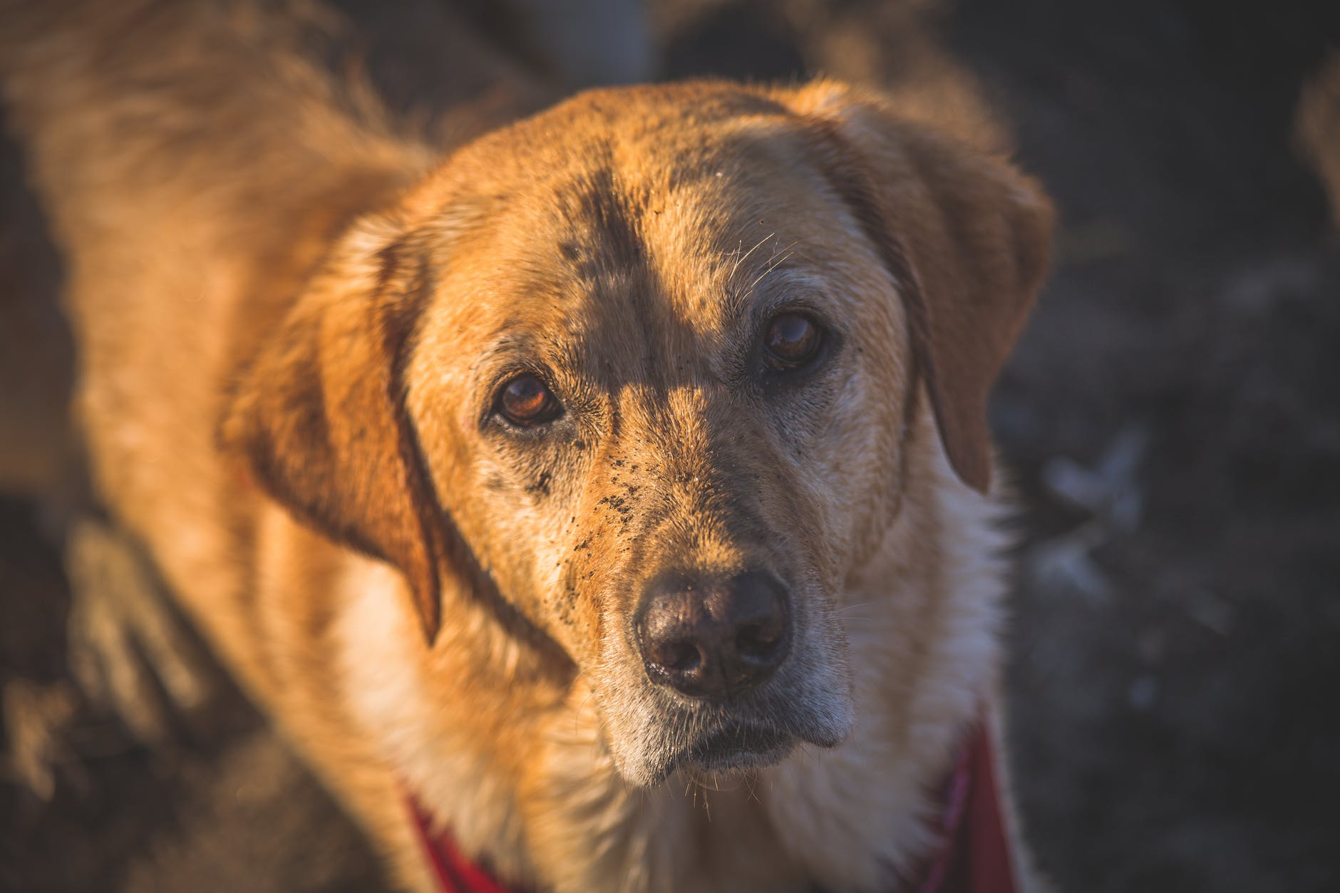 close up photography of adult golden retriever